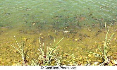 Fishes in the Lake Water