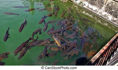 fishes swimming in the garden pool of Alcazar de los Reyes Cristianos, a medieval building located in the Andalusian city of Cordoba, Spain, near the Guadalquivir river and Mezquita.