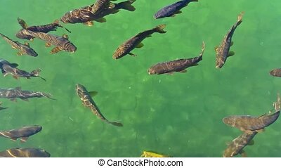 fishes swimming in a pond with green water