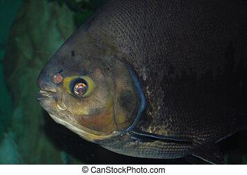 Fisheye - black pacu fish swimming in aquarium
