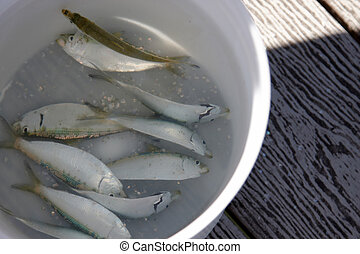 Fishing bait - A bucket full of fish for bait