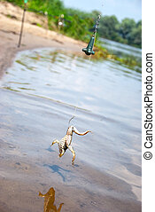 Fishing. Bait for cat-fish - frog on hook on the river