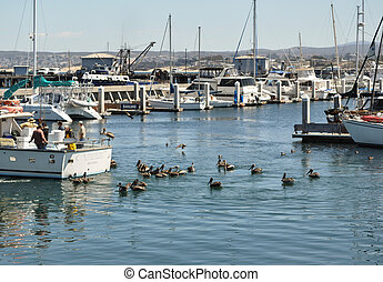 fishing boat in Monterey, CA harbor. Fisherman are feeding ...