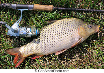 fishing catch - carp - fishing catch on the grass and ...