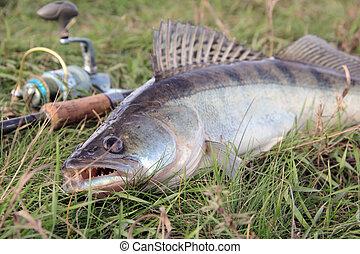 fishing catch - zander - fishing catch on the grass and...
