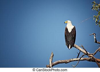 fishing eagle in luangwa national park zambia