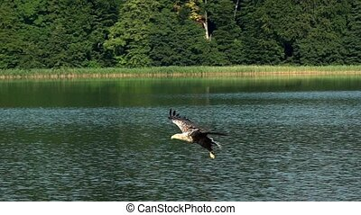 fishing eagle in slow motion