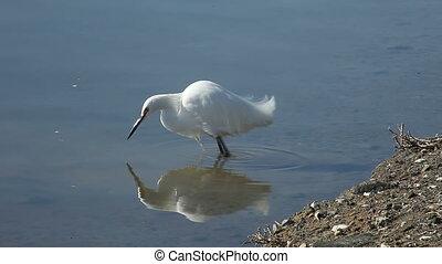 fishing egret - a snowy egret hunts for food using the...