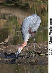 Fishing Heron
