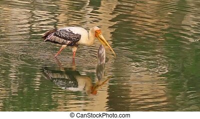 Fishing Stork1 - Painted Storks (Mycteria leucocephala)...