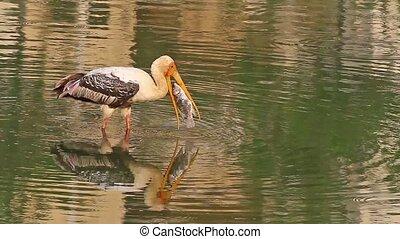 Fishing Stork2 - Painted Storks (Mycteria leucocephala)...