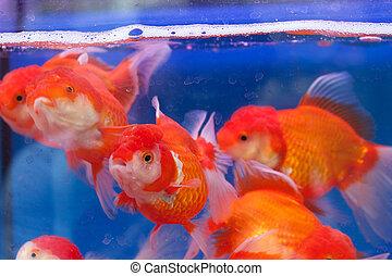 Fishtank with goldfish