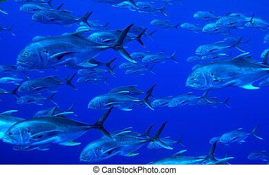fisk, skole, tunfisk, cuba