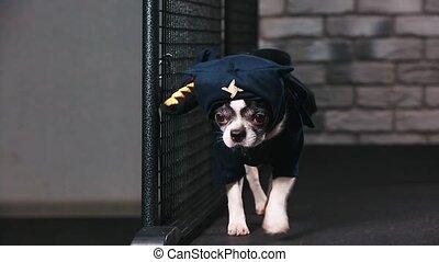 Fitness motivation funny joke. little dog dressed as a ninja...