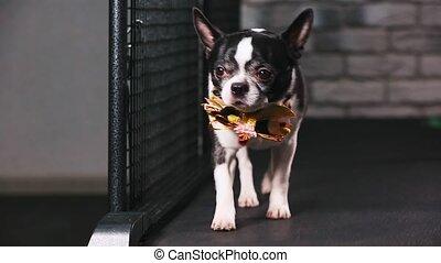 Fitness motivation funny joke. little dog dressed with a...