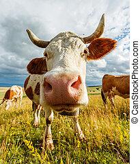 fiuto, curioso, mucca