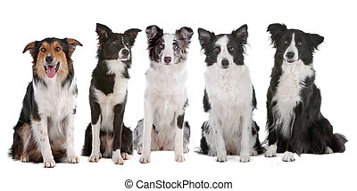 five border collie dogs