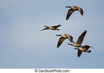 Five Canada Geese Flying in a Blue Sky
