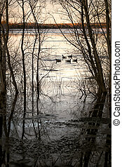 Five Canadian Geese Floating on Water - A group of five ...