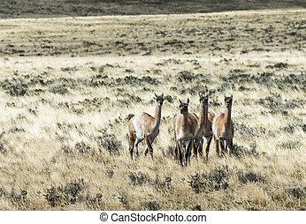 Five curious guanaco lamas in pampa