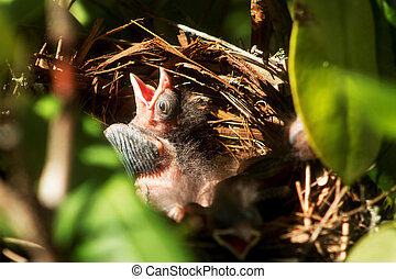 Five day old cardinal in the nest - A five day old cardinal ...
