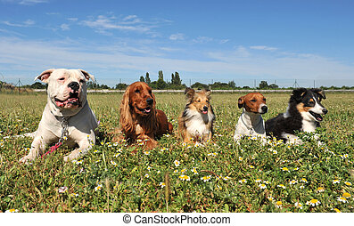 five dogs - five purebred dogs laid down in a field