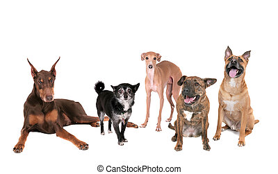 five dogs over white - five different breed dogs sitting,...