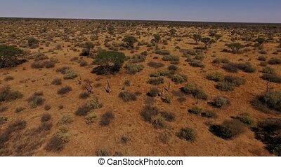 Five giraffes run across the savannah in Namibia.