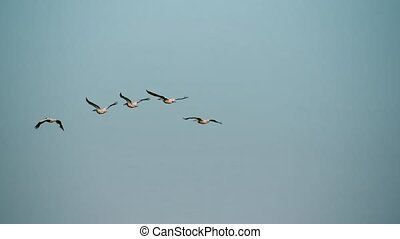 Five great white pelicans fly in formation in sky -...
