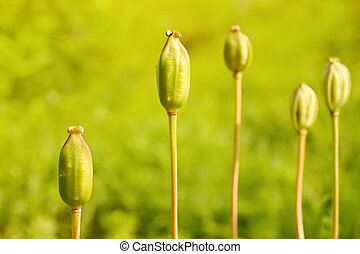 Five green unripe poppies on a meadow