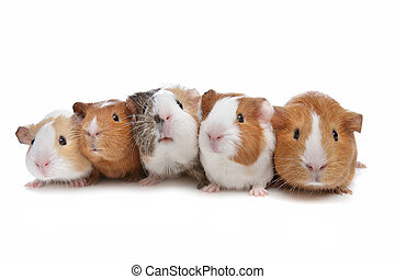 five guinea pigs in a row on a white background