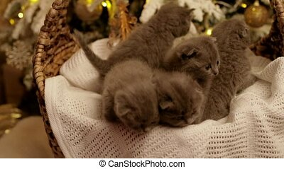 five kittens in a basket on the background of the Christmas tree