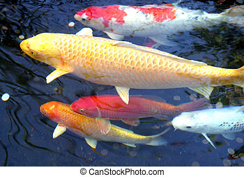 Five Koi - Five koi fish swimming in pond