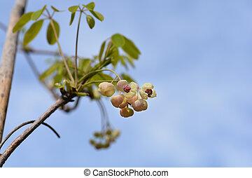 five-leaf, akebia, plata, campanas