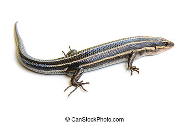 five-lined, skink