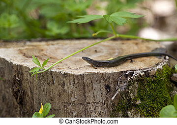 Five Lined Skink - A macro shot of a Five-lined skink (...