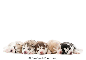 sleeping puppy of Siberian husky dog - five little cute...
