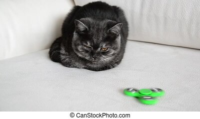 five-month old kitten looks at green spinner - five-month...