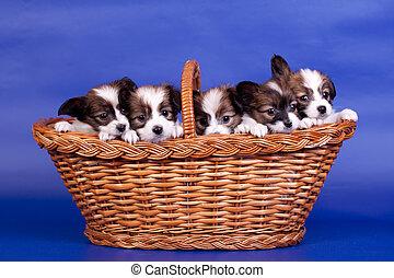 Five Papillon Puppies in basket on blue - Five Papillon...