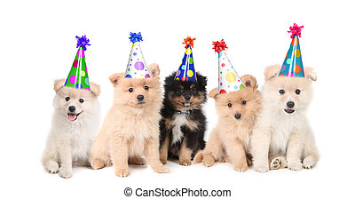 Five Pomeranian Puppies Celebrating a Birthday - Group of...