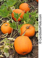 Pumpkin Patch - Five Pumpkins in a Pumpkin Patch are ...