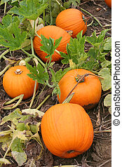 Five Pumpkins in a Pumpkin Patch are Displayed.