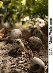 Five quail eggs in the forest on a wooden surface