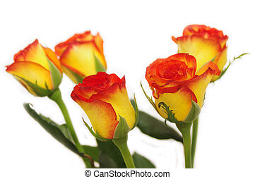 Five roses isolated on white