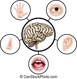 Five senses brain - A science education illustration of...