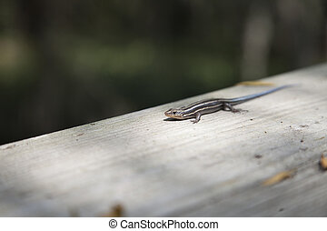 five-stripped, skink