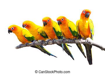 Five sun conure parrots perched on a white background.