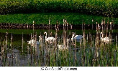 Five white swans floating on water.