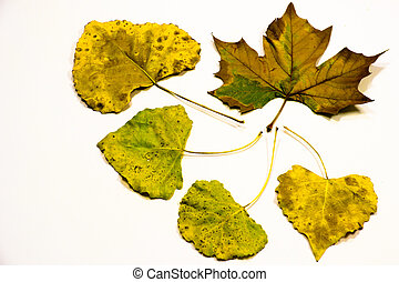 Five Yellow Leaves