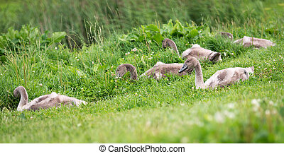 Five young swans in the town sitting in grass